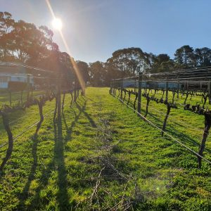 Capturing a sunbeam. Pruning time @ Red Hill Estate