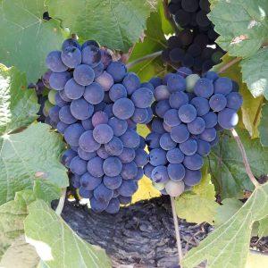 Pinot - ripening - Maddens Lane.